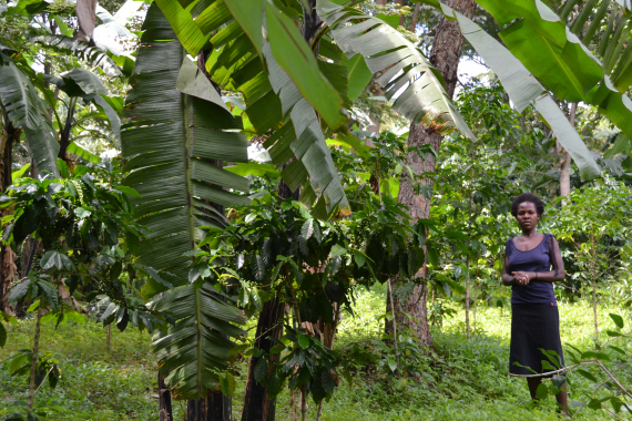 coffee and banana agroforestry in uganda worker locals WRI
